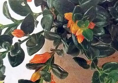 Nematanthus gregarius, pokojová květina