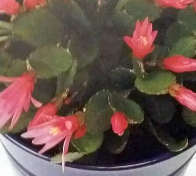 Rhipsalidopsis rosea – pokojová květina