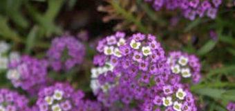Tařicovka přímořská neboli laločnice přímořská (Lobularia maritima)