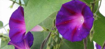 Ipomoea tricolor a její pěstování