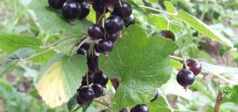 Rybíz černý (Ribes nigrum)