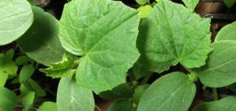 Pěstování skleníkových okurek