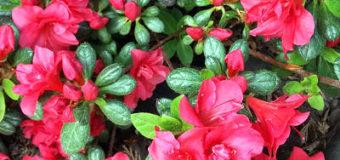 Třásněnky na okrasných rostlinách