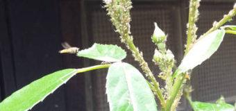 Škůdci okrasných rostlin