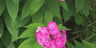 Plamenky – trvalky našich zahrad