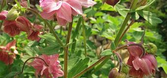 Zimovzdorné kvetoucí trvalky vhodné pro úzké záhony, tzv. rabata