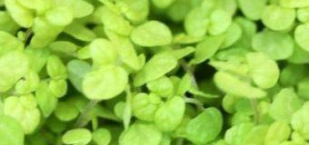 Pokojová rostlina Soleirolia soleirolii neboli Domácí štěstí, Štěstíčko