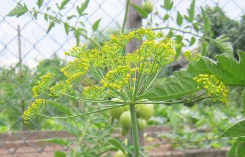 Kopr (Anetheum graveolens)