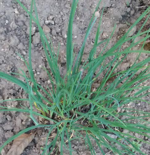 Pažitka (Allium schoenoprasum)