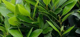 Bobkový list (Laurus nobilis) v kuchyni