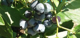 TOP ovoce pro pěstování za zahrádkách