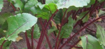 TOP zelenina pro pěstování na zahrádkách