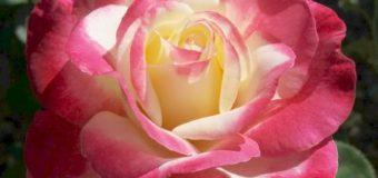 Jak rozdělujeme růže